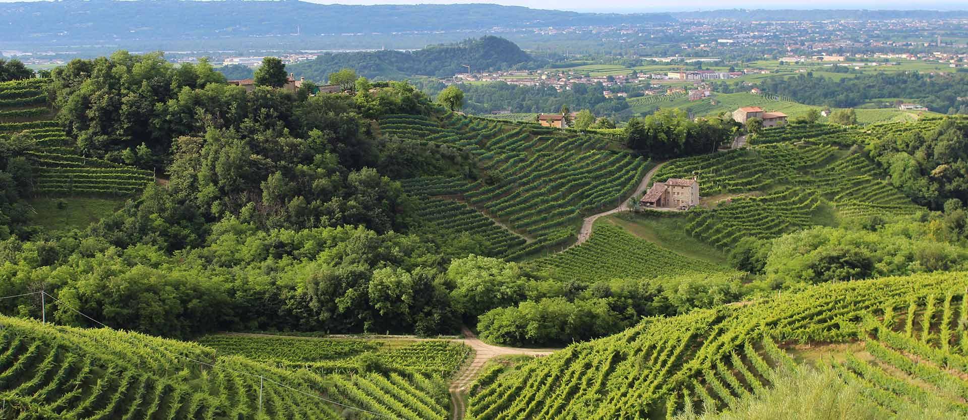 colline del prosecco viti